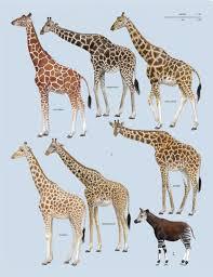 Giraffe Chart Chart Showing 1 Six Species Of Giraffes And Their Closest