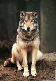 Love will find a way through paths where wolves fear to prey. ~Lord Byron |  Wolf dog, Wolf, Animals