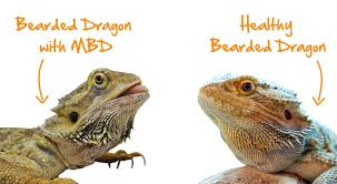 blog nutrition and mbd lizards sick vs healthy bearded dragon