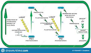 Picture Of Light Reaction Z Scheme In Plants Light Reaction Stock Illustration