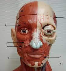 face anatomy anatomy lab photographs face muscles