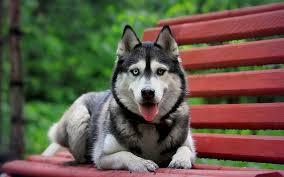 white husky german shepherd mix puppies. Perfect Husky Husky German Shepherd Mix Intended White Husky German Shepherd Mix Puppies H
