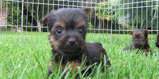 silky dog. silky terrier puppy picture dog