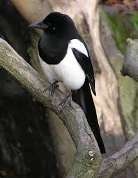 Small Picture Magpie Wikipedia