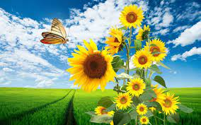 Sunflowers and Butterflies Wallpapers ...