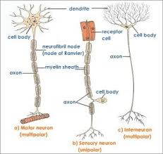 Three Types Of Neurons Medical Cns Pns Neurons Physiology