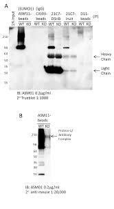 Kinesin Light Chain Antibody Sumoylation 1 Affinty Beads Mouse Monoclonal From