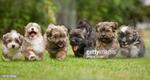 Small Picture 6 Running Havanese Puppies Of 9 Weeks Stock Photo Getty Images