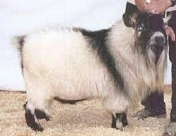 National Pygmy Goat Association