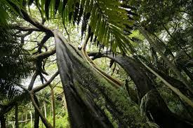 The official account for lord howe island, tag us or #lordhoweisland to allow permission to repost your image across our social media channels 🏝 www.lordhoweisland.info. Banyan Tree Ficus Macrophylla Valley Of The Shadows 18853303