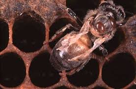 Bee With Deformed Wing From Varroa Mites Give Mint And