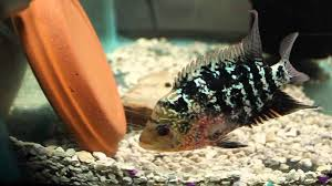 XXX BREEDING UPDATE wigglers OFF CLAY POT MEGA CICHLID YouTube