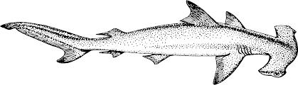 hammerhead shark clipart black and white. Modren Hammerhead Hammerhead Shark Vertebrate Scalloped Hammerhead Tiger Great White  And Shark Clipart Black White