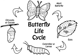 Small Picture Butterfly Life Cycle Printable butterfly life cycle coloring