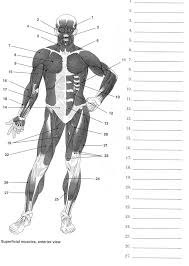 human anatomy labeling worksheets muscles of the arm diagram pta ...