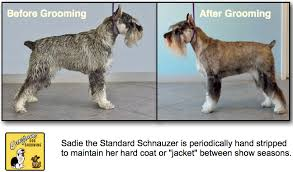 dog grooming guide schnauzer