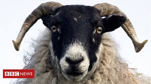 <b>Sheep</b> 'can recognise human faces' - BBC News