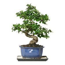 bonsai tree for office. Chinese Live Fukien Bonsai Tree - Home Garden Office Decor Plant Red For