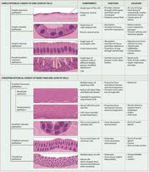 Tissue Chart Answer Key 206 Best Epithelial Tissue Images In 2019 Anatomy