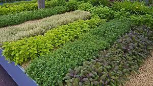 spring herbs to grow in your garden