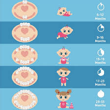 Teething Chart Babies When Do Babys Teeth Come In Abbotsford Dentist Dedicated Dental