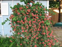 5 Gorgeous Climbing Vines To Plant For A Flowing BohemianChic Climbing Plants Texas