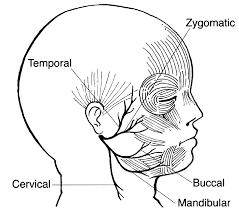 The Facial Nerve Exits The Skull From The Stylomastoid