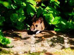 how to get rid of mice in the garden
