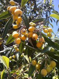 7 Popular Dwarf Or Miniature Fruit Trees For A Limited Space  The Plum Tree Flowers But No Fruit