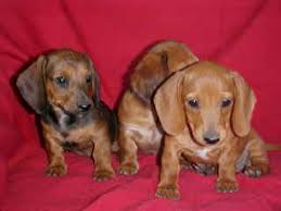smooth red dachshund puppies doxies