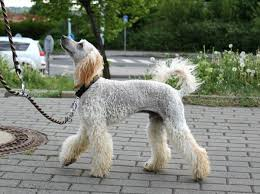 10 Haircuts For Poodles With Styles And Pictures