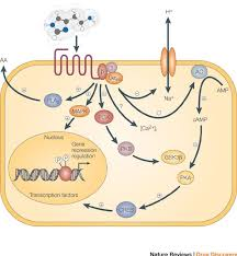 Gpcr Signaling A Schematic Diagram Shows Examples Of The Many Signaling