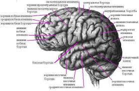 Головной мозг Рефераты ru Конечный мозг развивается из переднего мозгового пузыря состоит из сильно развитых парных частей правого и левого полушария и соединяющей их срединной