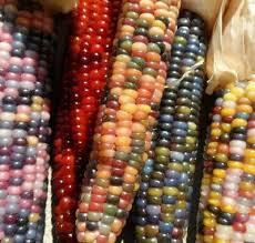 cherokee glass gem indian corn 150 seeds non gmo heirloom