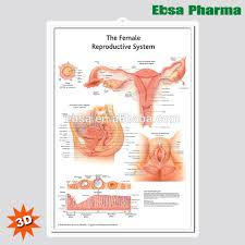 Female Organ Chart 3d Medical Human Anatomy Wall Charts Poster The Female Reproductive System Buy 3d Chart Human Anatomy Wall Poster The Female Reproductive System