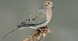 Mourning Dove Life History All About Birds Cornell Lab Of