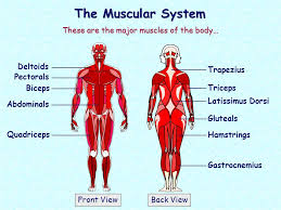 There are over 600 muscles in the body. The Muscular System These Are The Major Muscles Of The Body Deltoids Ppt Video Online Download