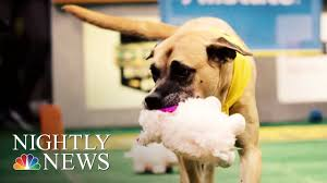 Senior <b>Pups</b> Compete In <b>Special</b> '<b>Dog</b> Bowl' | NBC Nightly News ...