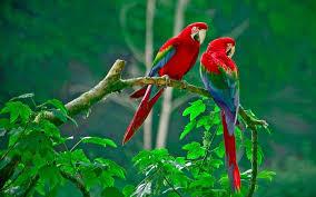 Love Birds Hd Wallpaper Free Download ...