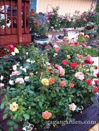 Small Picture Tips For Designing a Beautiful Rose Bed httpwwwhgtvgardens