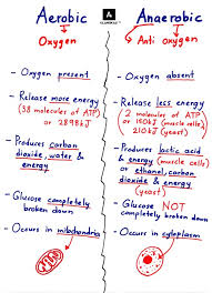 spmstraighta aerobic vs anaerobic respiration