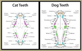 Canine Teeth Chart Cat Teeth Dental Chart Bedowntowndaytona Com