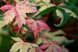 brown leaves on japanese maple trees