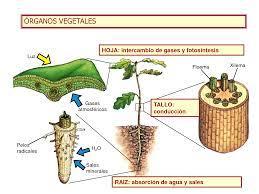 EL MARAVILLOSO MUNDO DE LAS CIENCIAS: TRANSPORTE DE SUSTANCIAS EN LAS  PLANTAS