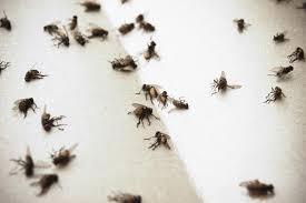 How To Get Rid Of Fruit Flies Best Traps That WorkSmall Flies Around Kitchen Sink
