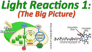 Picture Of Light Reaction Photosynthesis The Light Reactions Part 1 The Big Picture