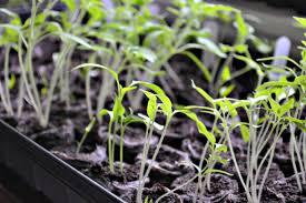 growing seedlings for my first veggie