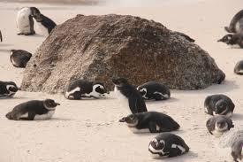 essay on penguins little penguin