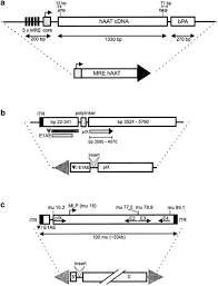 Insulation from viral transcriptional regulatory elements improves  inducible transgene expression from adenovirus vectors in vitro and in vivo  | Gene Therapy