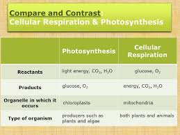 11 compare and contrast cellular respiration photosynthesis